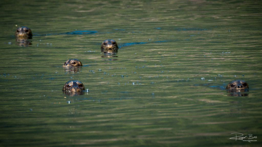 Seals staring at us on Indian Arm Deep Cove sailing