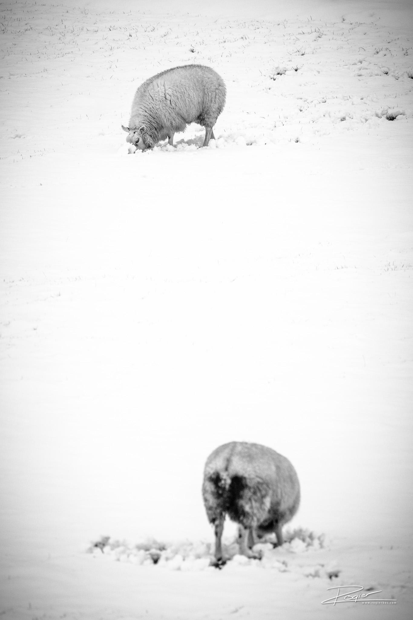 Landschapfotografie langs de Hollandse IJssel: Schapen wroeten in de sneeuw op zoek naar voedsel